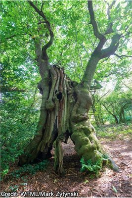 Old Sweet Chestnut Tree